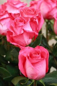 Bladen på min rosenbuske vänder gul med ställen & falla av