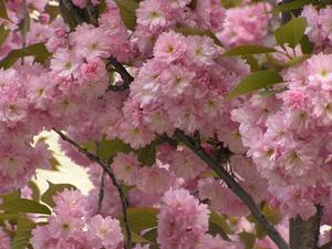 Rosa blomma träd