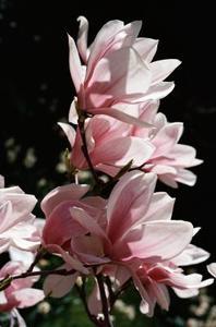 Hur man odlar en fjäril magnoliaträd