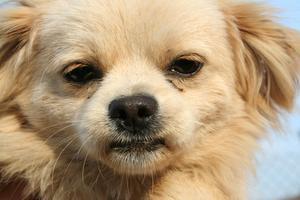 Kutana t-cell lymfom hos hundar