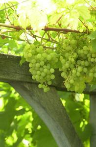 Hur man startar en grape berså
