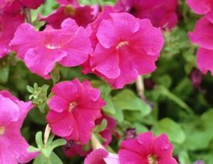 Hur man odlar petunia frön