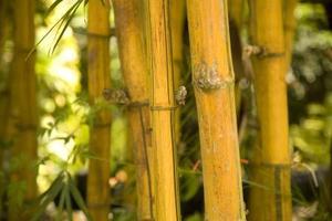 Snabbt växande utomhus Bamboo växter