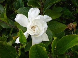 Hur lång tid tar det innan en Gardenia Blom om jag plantera fröet?