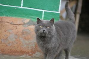 Hur till berätta differensen i en rysk blå katt från en tamkatt