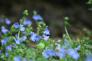 Följeslagare växter för Canna