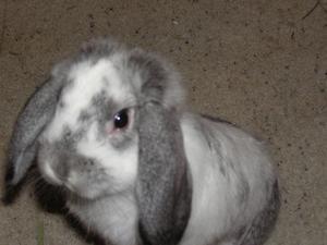 Tecken på SKABB i kaniner