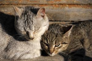 Varför katter drar håret i bitar?