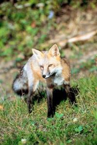 Ange en ben fälla för en röd räv