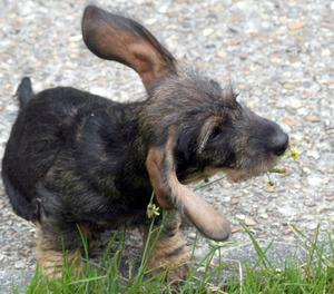 Biverkningar av Tea Tree olja för hund öroninfektioner