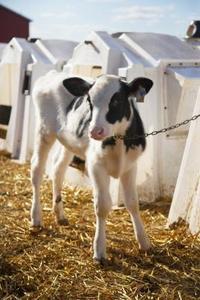Hur man bottle-feed en vecka gammal kalv
