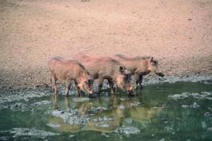 Hur man snara Wild Pigs