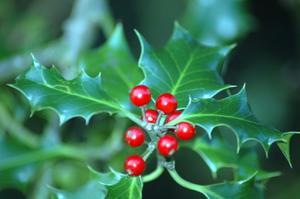 Vintergröna Holly buskar