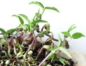 Effekterna av socker vatten på Mungböna växter