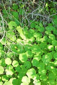 Ground Ivy gräsmatta ogräs