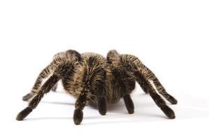 Typer av spindlar: svart med vita prickar