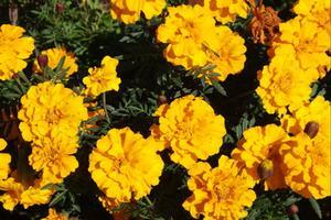 Guide till årliga blommor